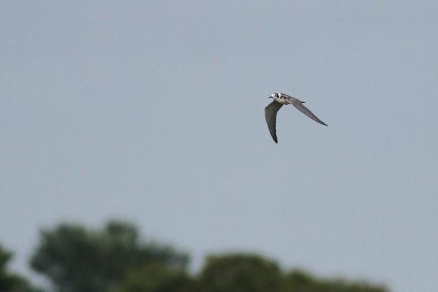 Black Tern--Cape May Point SP, NJ (Photo by Alex Lamoreaux)