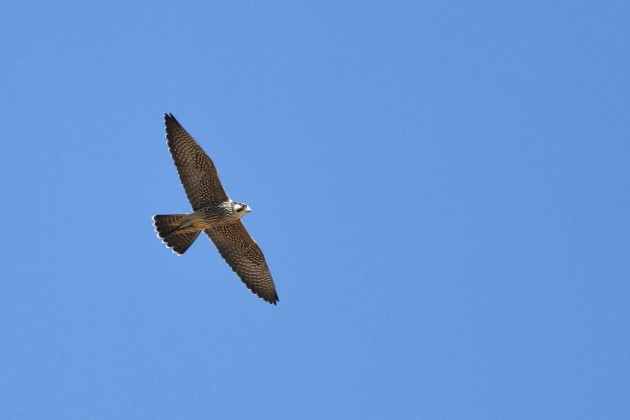 The second half of this month has been great for Peregrine Falcons, with a single-day record high-count of 124 migrating past on the 27th! This is an immature bird. (Photo by Alex Lamoreaux)