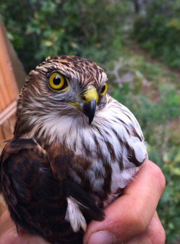 Immature Sharp-shinned hawk, peering into my soul (photo by Steve Brenner)