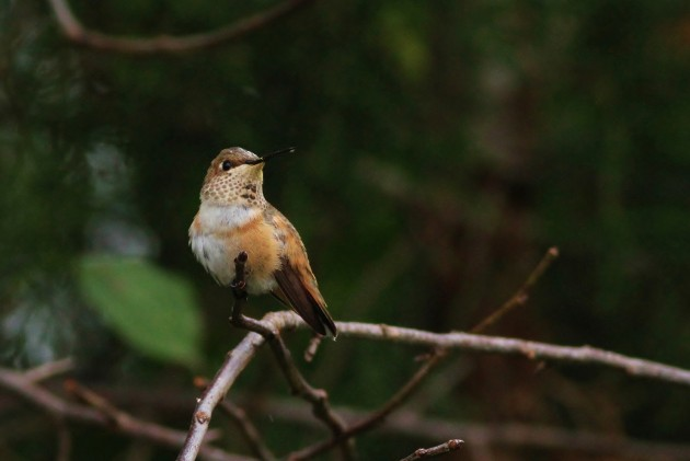 Rufous Hummingbird - adult female (Photo by Alex Lamoreaux)