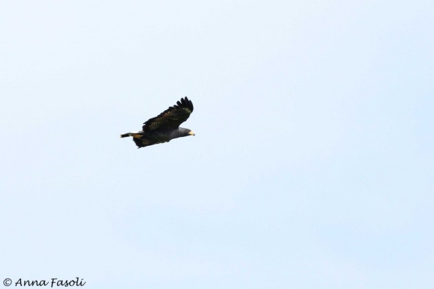 Common Black Hawk - adult