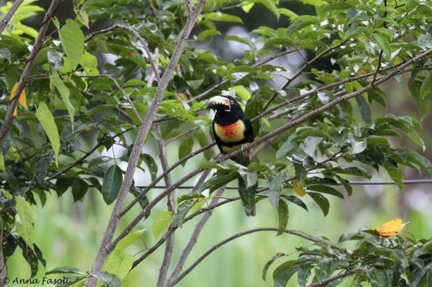 Collared Aracari; Cattle Landing, Belize