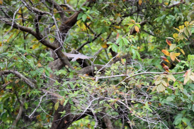 Mangrove Cuckoo in flight. Note lack of rufous in primaries; Cattle Landing, Belize