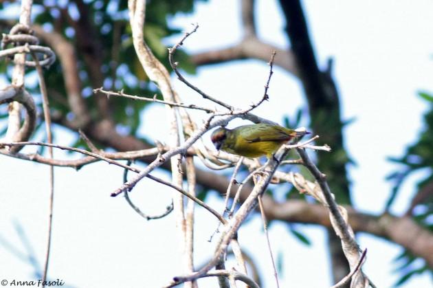 Olive-backed Euphonia (Photo by Anna Fasoli)