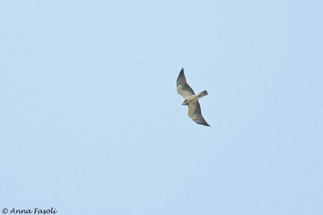 Swainson's Hawk crusing overhead (Photo by Anna Fasoli)