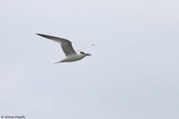 Sandwich Tern (Photo by Anna Fasoli)