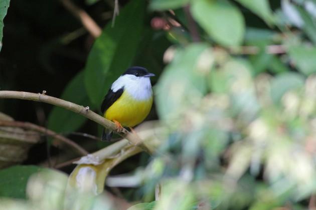White-collared Manakin-male