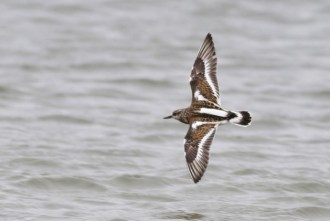 Ruddy Turnstone (Photo by Alex Lamoreaux)