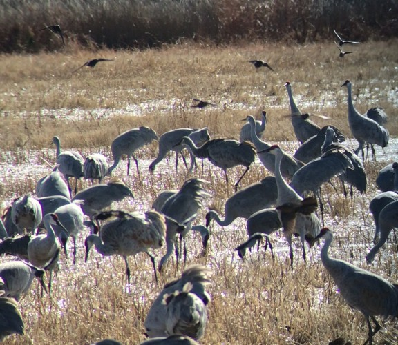 Sandhill Cranes at Bosque del Apache NWR, November 2014. Digiscoped with an iPhone 5 + Alpen 20 - 60mm & Phone Skope Adapter. iPhone photo by Steve Brenner.