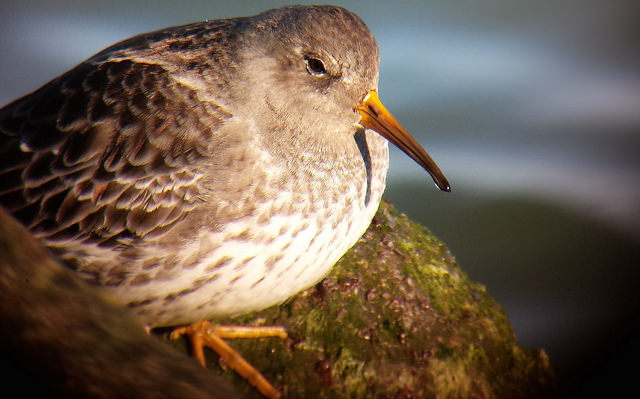 Purple Sandpiper at the 8th Street Jetty in Avalon, NJ on 11 January 2015. Digiscoped with a Samsung Galaxy S4 + Celestron Regal M2 80ED & Phone Skope Adapter. Photo by Tim Schreckengost.