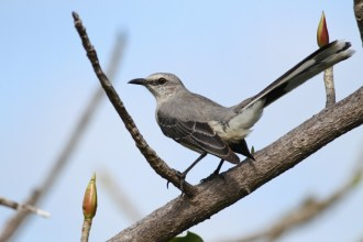 My first lifer of the trip - Tropical Mockingbird (Photo by Alex Lamoreaux)