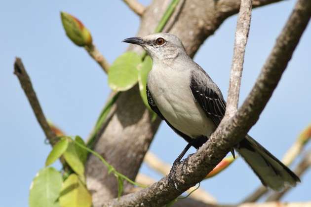 Tropical Mockingbird (Photo by Alex Lamoreaux)