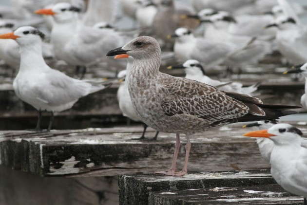 The second Lesser Black-backed Gull seen on December 10th. (Photo by Alex Lamoreaux)