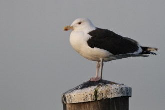 Great Black-backed Gull (adult) at the docks. (Photo by Alex Lamoreax)