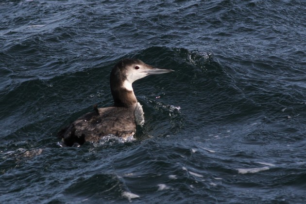Common Loon (Photo by Alex Lamoreaux)