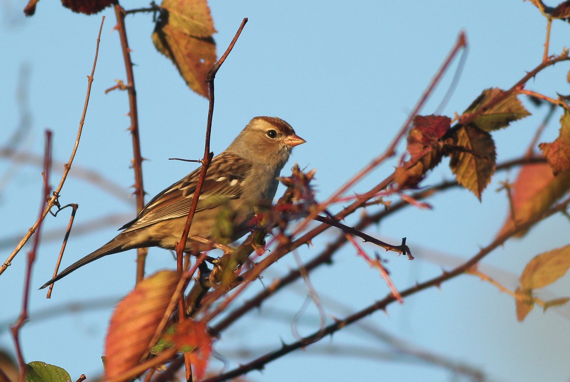 Gambels Whitecrowned Sparrows in PA by Alex Lamoreaux