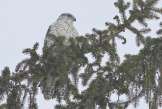 Adult female gray type Gyrfalcon, Old Fort Rd, Wallkill, New York (Photo by Alex Lamoreaux)
