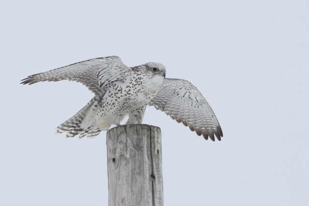 Adult female gray type Gyrfalcon perched along Old Fort Rd, Wallkill, New York. (Photo by Alex Lamoreaux)