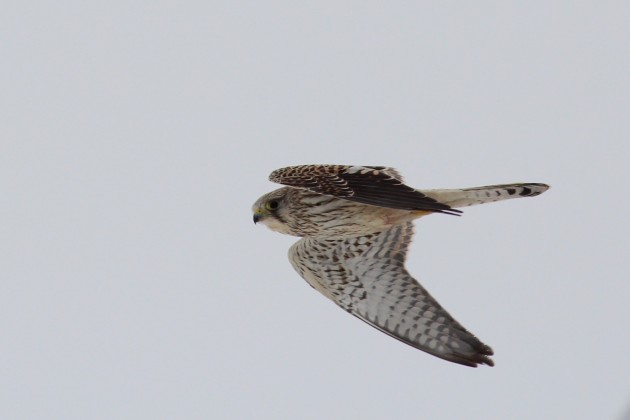 After hours of being spitefully uncooperative, we were treated to looks good enough to snap the following photo. Eurasian Kestrel, Hartlen Point, Nova Scotia. Photo by Matt Sabatine.