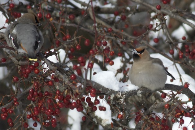 When you need water to survive and live where it's cold and can't find any, eat snow. Bohemian Waxwings, Lee, Maine. Photo by Matt Sabatine.