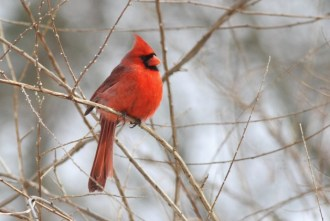 Northern Cardinal (Photo by Alex Lamoreaux)