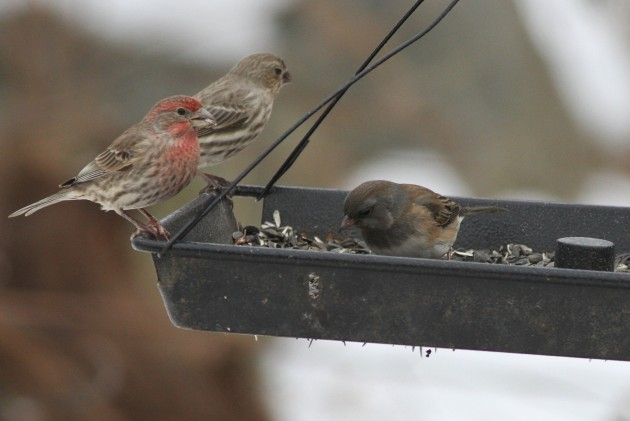 One of three very pale brown Slate-colored Juncos, or possibly Cassiar Juncos; with House Finches. (Photo by Alex Lamoreaux)