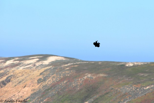 Common Raven in a barrel roll