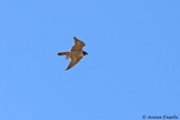 Peregrine Falcon - female