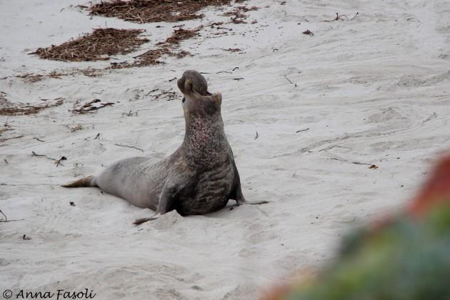 Northern elephant seal - adult male, Sandy Point, Santa Rosa Island