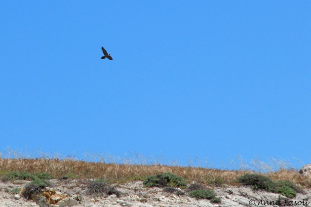 Peregrine Falcon hunting at Bonn Point, Santa Rosa Island