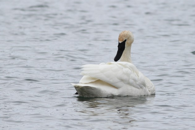 Adult Trumpeter Swan at Silver Lake, Virginia. (Photo by Alex Lamoreaux)