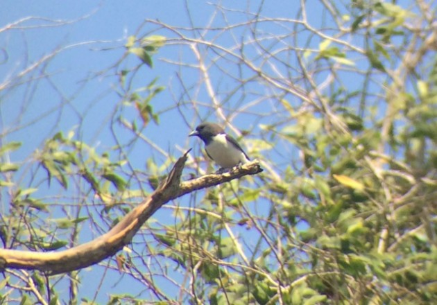 White-breasted Woodswallow, one of the more common birds on our big day (digiscoped photo by Steve Brenner)