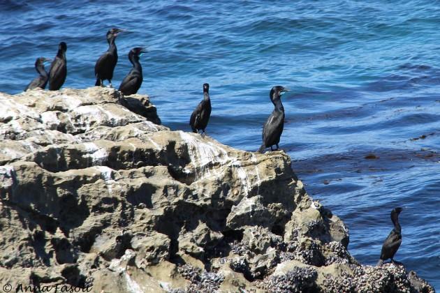 Brandt's Cormorants, Santa Rosa Island