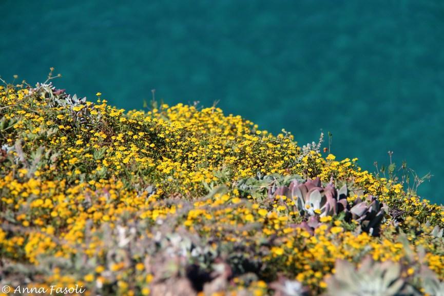 Common goldfields (Lasthenia gracilis) are still abundant