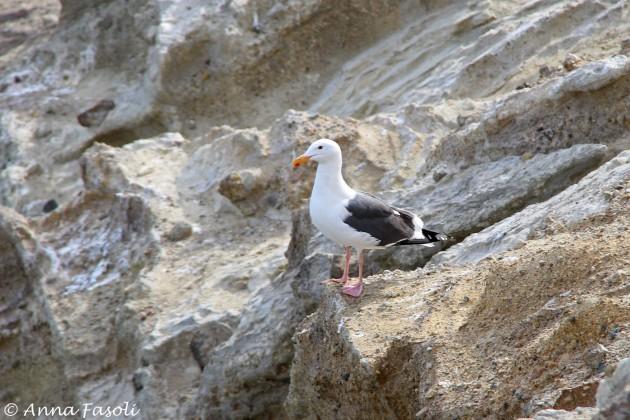 Western Gull near East Point, Santa Rosa Island