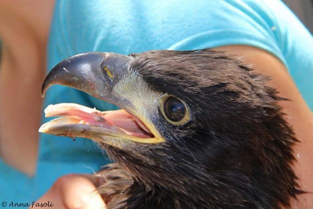 #50, a small male Bald Eagle chick - Lopez territory, Santa Rosa Island