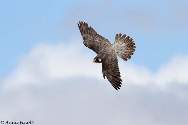 Peregrine Falcon - female, Bonn Point Territory, Santa Rosa Island