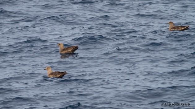 I beleive the appropriate term is a gaggle of skuas [Photo by Lukas Musher]