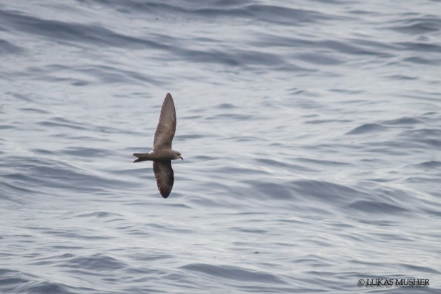 A Leach's Storm-Petrel flying around the slick. [Photo by Luke Musher]