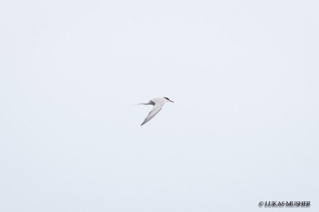 Common Tern [Photo by Luke Musher]