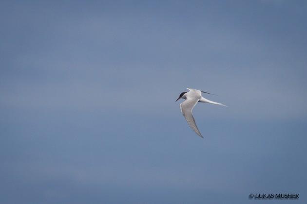 Arctic Tern [Photo by Luke Musher]