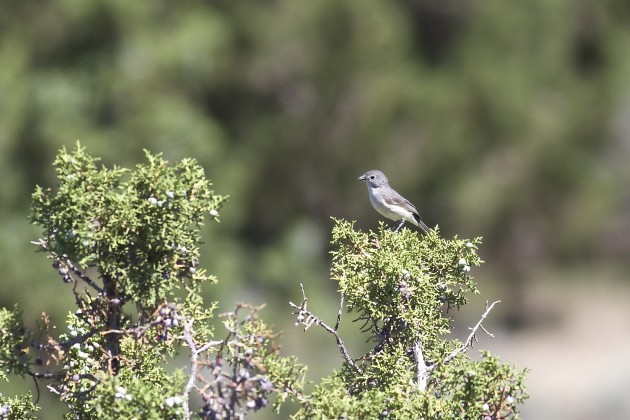 Gray Vireo, Soldier Pass Rd., Utah, 6/17/15