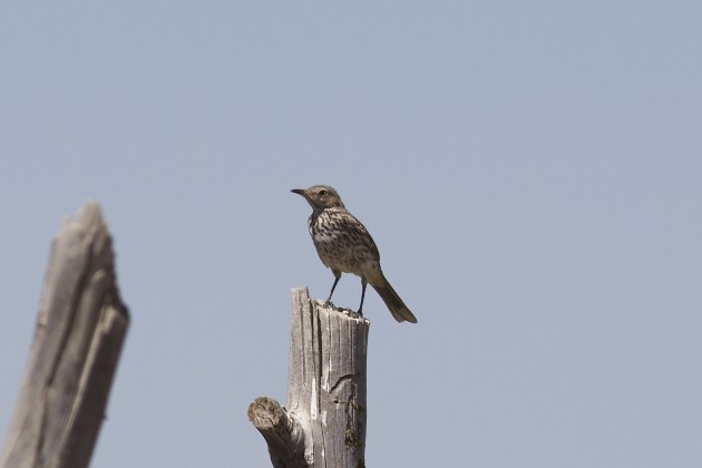 Sage Thrasher, Cedar Valley, Utah, 6/17/15