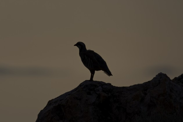 This was a decent photo, up until I tried to get all artsy and festive and black out the bird and its perch rock. Chuckar, Antelope Island State Park, Utah, 6/17/15