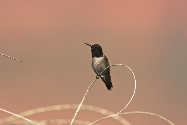 Black-chinned Hummingbird at our rental house in Page, AZ 6/20/15.
