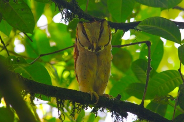 Oriental Bay Owl. This photo was taken at 1500 meters, which is well above the 'normal' altitude for this species, as far as we know. (Kinablu Park, 2015 - photo by Steve Brenner)