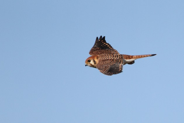 Female American Kestrel with aberrant plumage (Photo by Alex Lamoreaux)