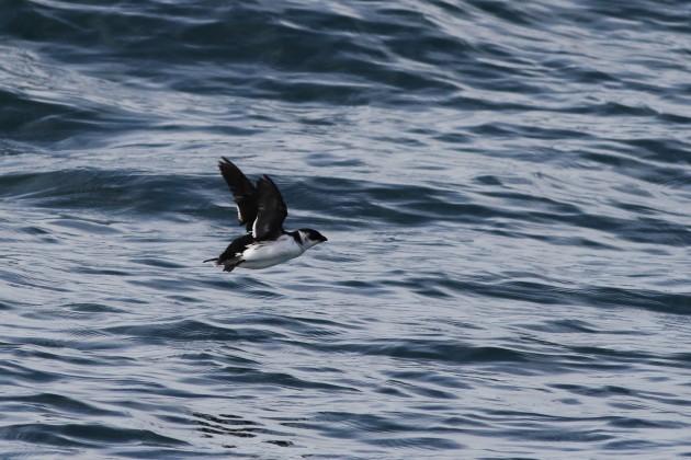 Dovekie in flight (Photo by Alex Lamoreaux)