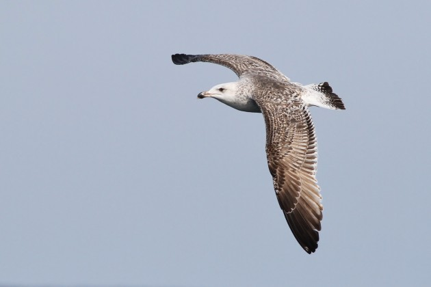 First-winter Great Black-backed Gull (Photo by Alex Lamoreaux)