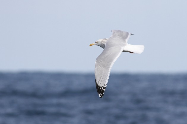 Adult Herring Gull (Photo by Alex Lamoreaux)